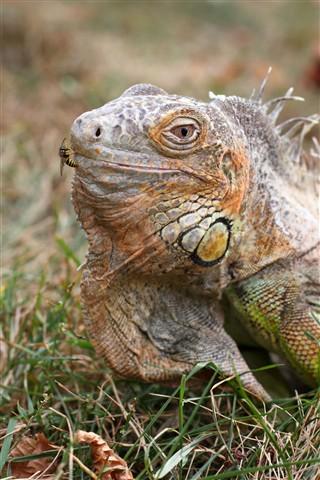9.30.12 Iguana 17