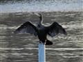 Cormorant 01