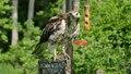 The local nature center had a lot of local bird species included Geese .There were at least 2 dozen baby Geese feeding . Suddenly the adult geese let out a loud squawk. In swooped this beautiful Red tail Hawk.