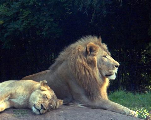 Lion Profile Mod 2