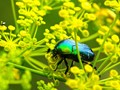 aqua beetle on yellow flowers