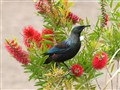 Tui (Prosthemadera novaeseelandia)
