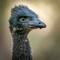Last_Emu_Standing_2