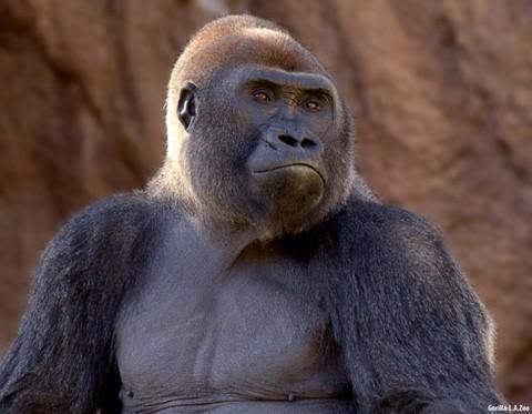 Gorilla, L.A. Zoo