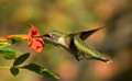 Ruby Throathed Hummingbird