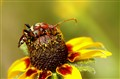 Longhorned Wood Borrer (Coleoptera Cerambyicdae)