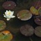 SF_lotus