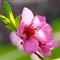 Peach-Blossom_1