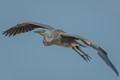 GBH in Bolsa Chica Wetlands -6591