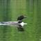 Common Loon (Female)