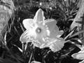 Daffodil Flower in March