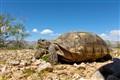 Mohave Desert Tortoise