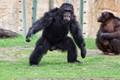 Chimpanzee. Ramat Gan Safari Park. Tel Aviv, Izrael