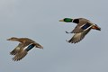 Flying Mallards