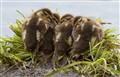 4 baby ducks-9231