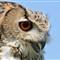 DGB_8045_Eagle Owl