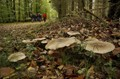 Clitocybe nebularis and mushroom collectors in Denmark