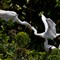 Great Egret (Ardea alba) Feeding Chick