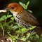 2341Chestnut-crownAntpitta