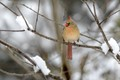 Female Cardinal after Later Winter Snow