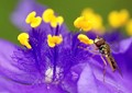 Hoverfly on Spring Wildflower