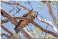 Crested Hawk w Cicada