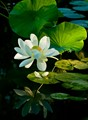 Lotus flower reflected in pond
