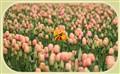 IMG_7318 Tulip