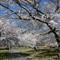 Cherry Trees0044