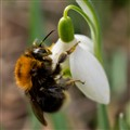 Bumblebee on Snowdrop
