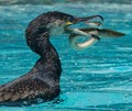 Cormorant takes on an eel