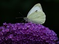 Small White on a Budleia