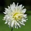 Valley Porcupine Dahlia
