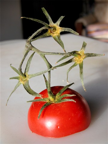 Introducing the famous all star tomato gymnasts