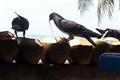 Coconut attack