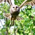 Barred Owl - Gridley, KS