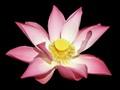 Balinese Lotus