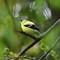 Goldfinch in wet springtime: