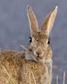 (semi-wild) city rabbit
