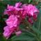 Pink Oleander Flowers-P8261409