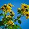 Painterly Sunflowers