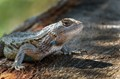 Texas spiny lizard (Sceloporus olivaceus)