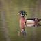 Wood Duck-