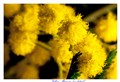Yellow Mimosa (Acacia dealbata)
