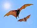 BIF - Bats in Flight