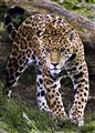 Jaguar prey
