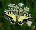 420mm Swallowtail (Papilio machaon)