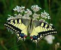 420mm Swallowtail (Papilio machaon)
