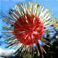 Hakea Blossom
