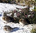 Fieldfares in the Snow